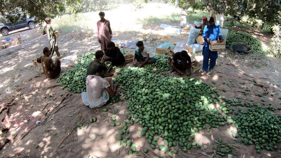 mangos in Pakistan