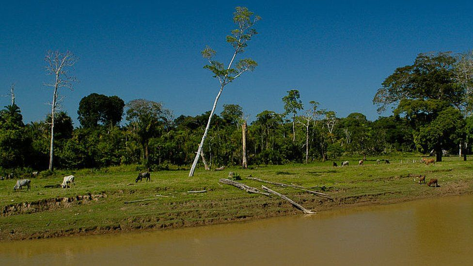 Cattle near Amazon tributary