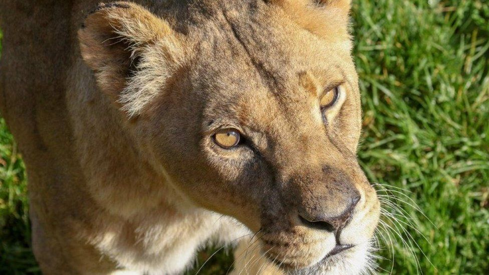 Mo the lioness