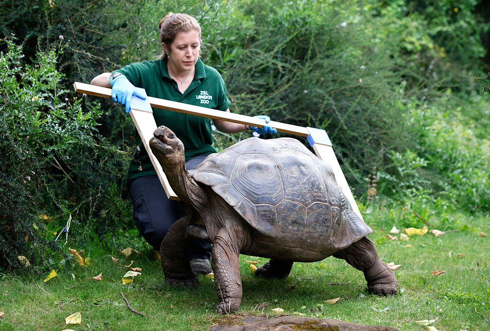 A Galapagos tortoise being measured