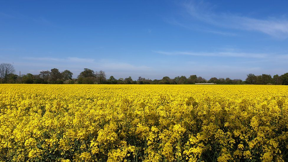 Rapeseed oil field