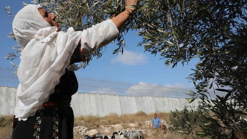 A Palestinian woman picks olives from a tree in a field beside Israel's West Bank barrier, which separates the Palestinian village of Dora from a Jewish settlement (19 October 2019)
