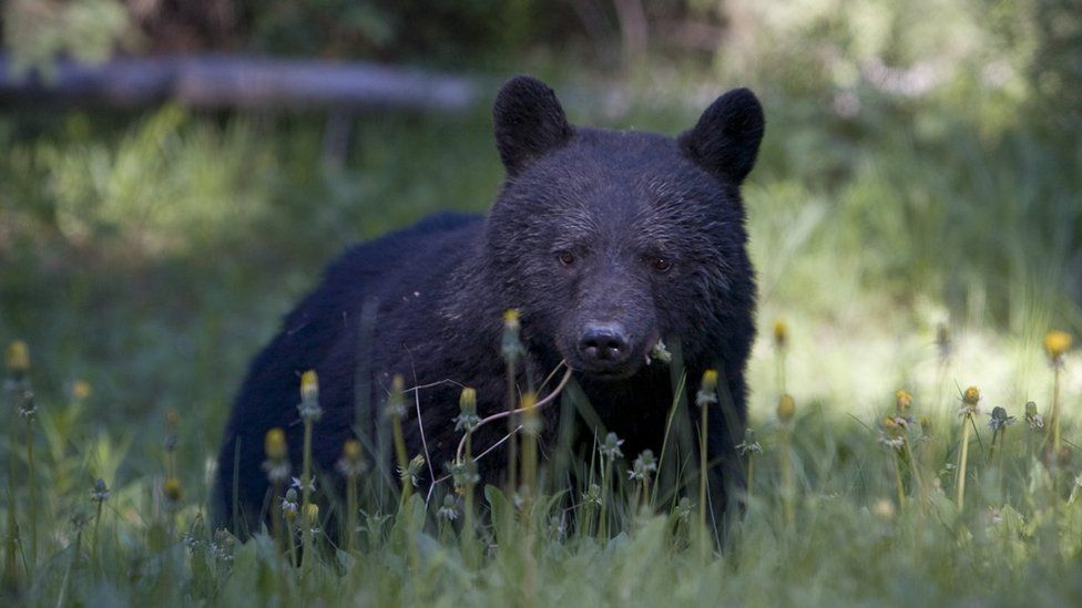 A black bear in the Canadian wilderness