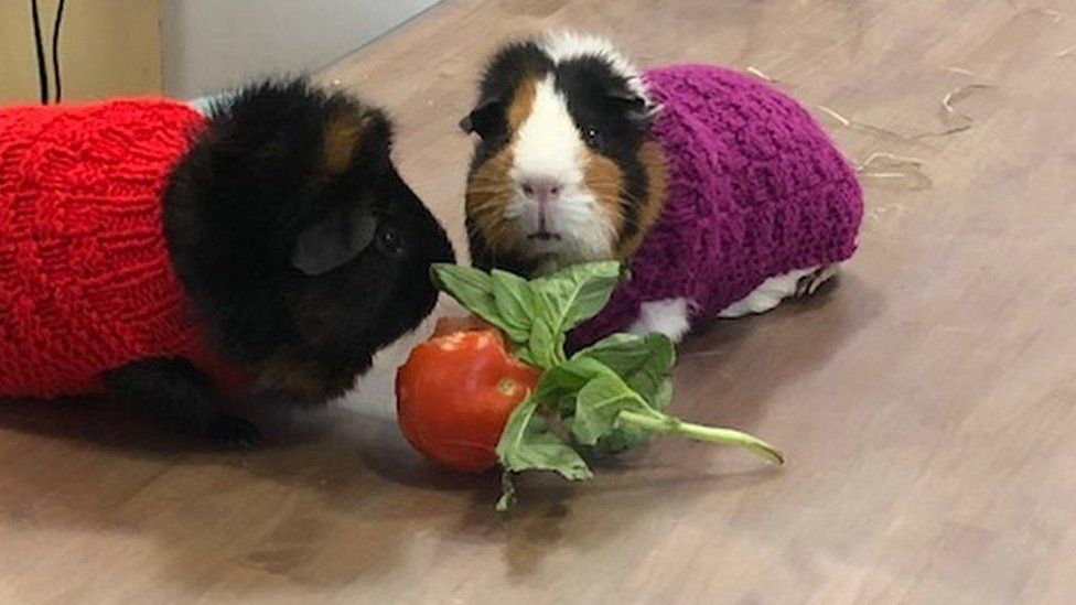 Guinea pigs at Golden Valley Vets