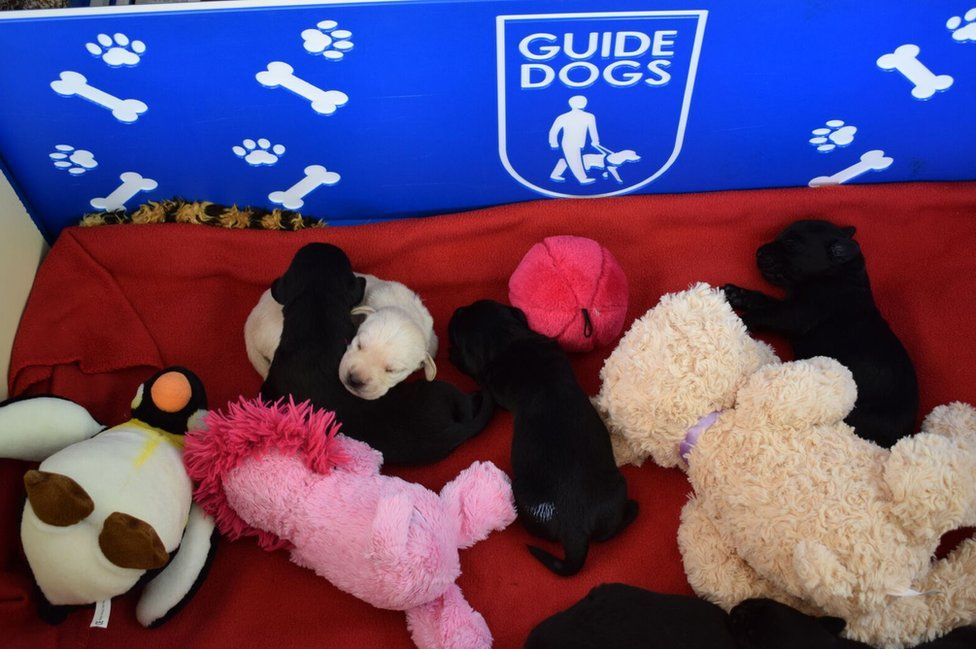 Inside the whelping box, puppies cuddle up next to each other and several soft toys