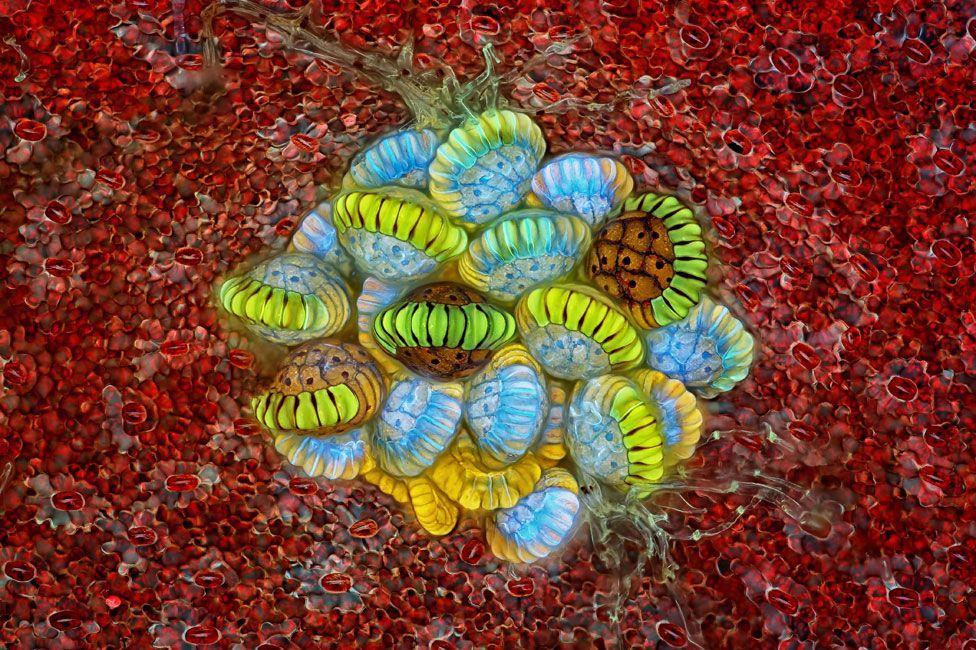 Soro, agrupaciones de esporangios que contienen las esporas de un helecho