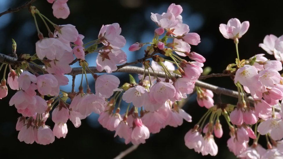 Early blooming cherry blossoms are seen in Tokyo on March 17, 2018