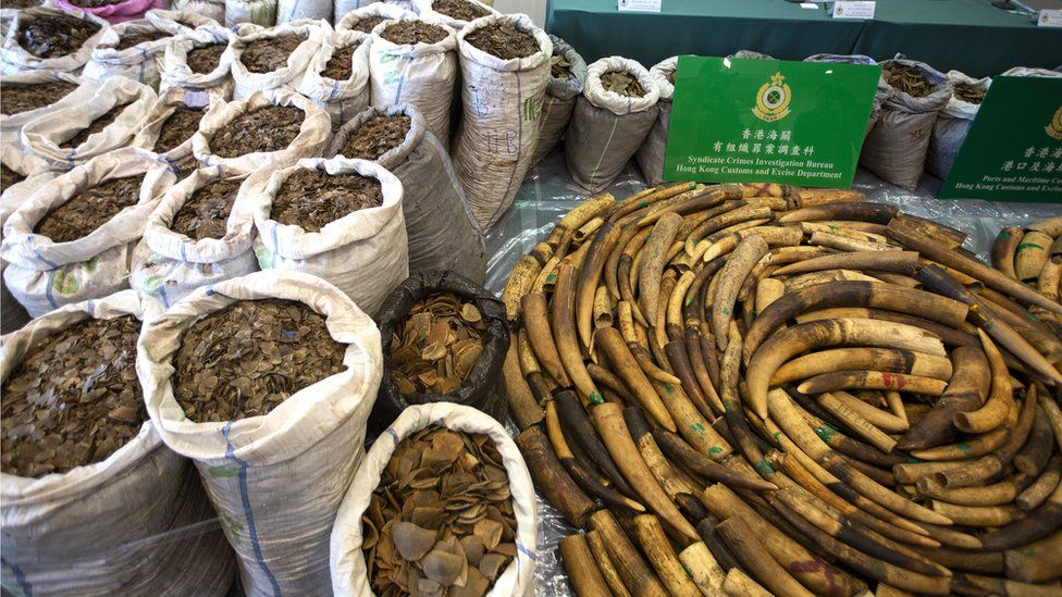 Pangolin scales and elephant tusks seized at by customs officers in Hong Kong, 1 February 2019