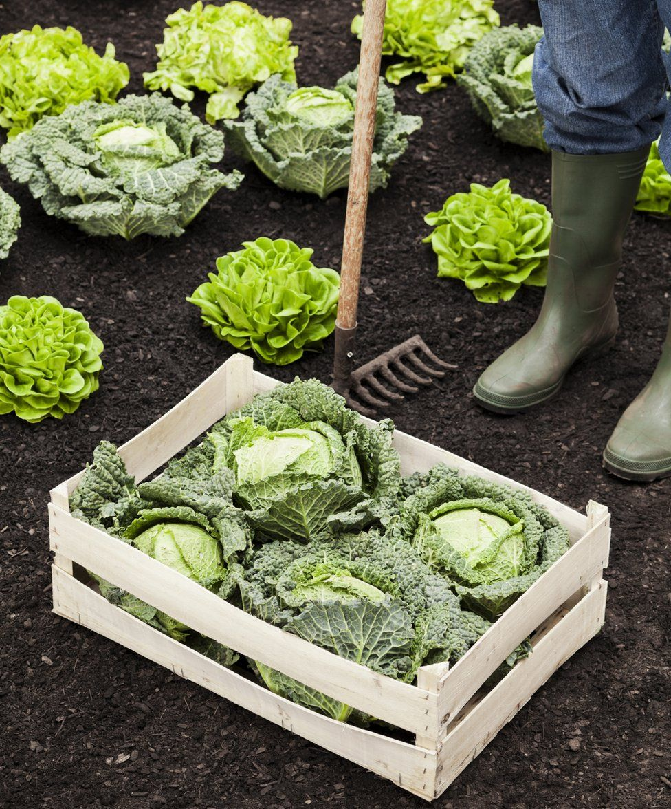 Farmer stands over box of cabbages in a field