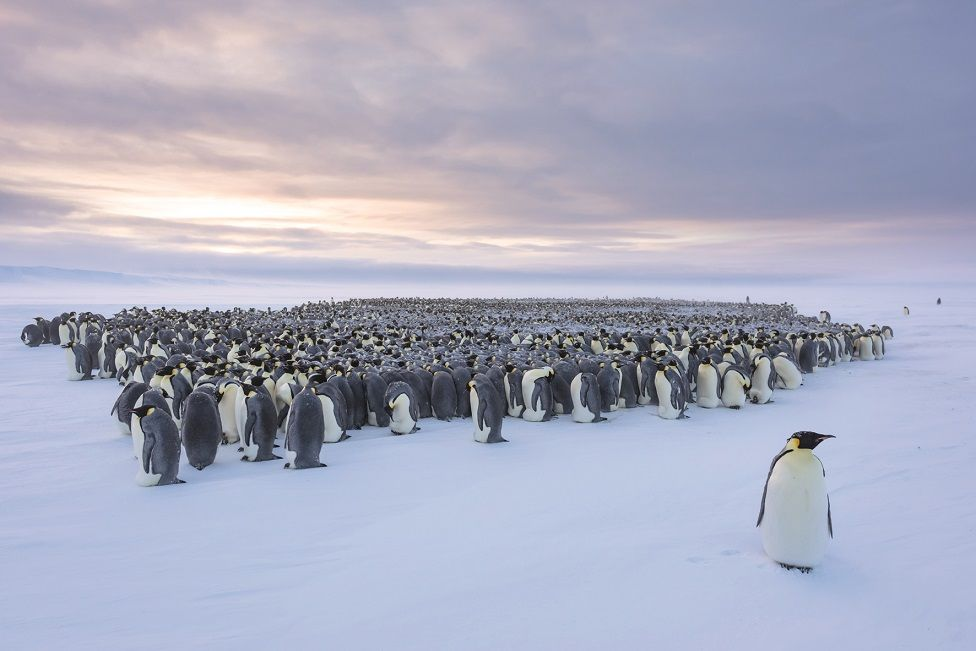 A huddle of penguins with one walking away from the group