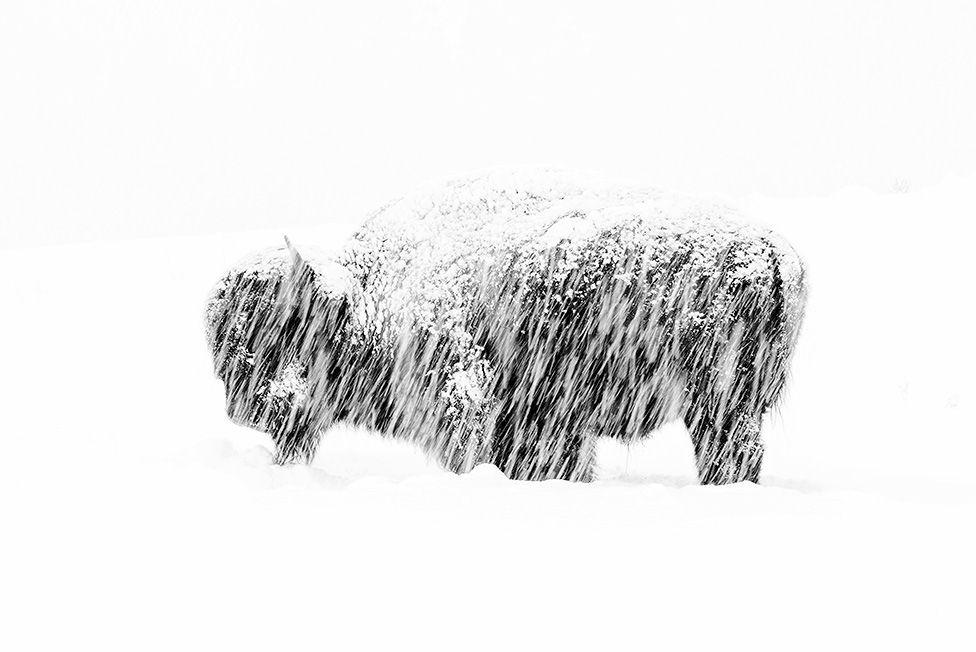 Бизон под снегом