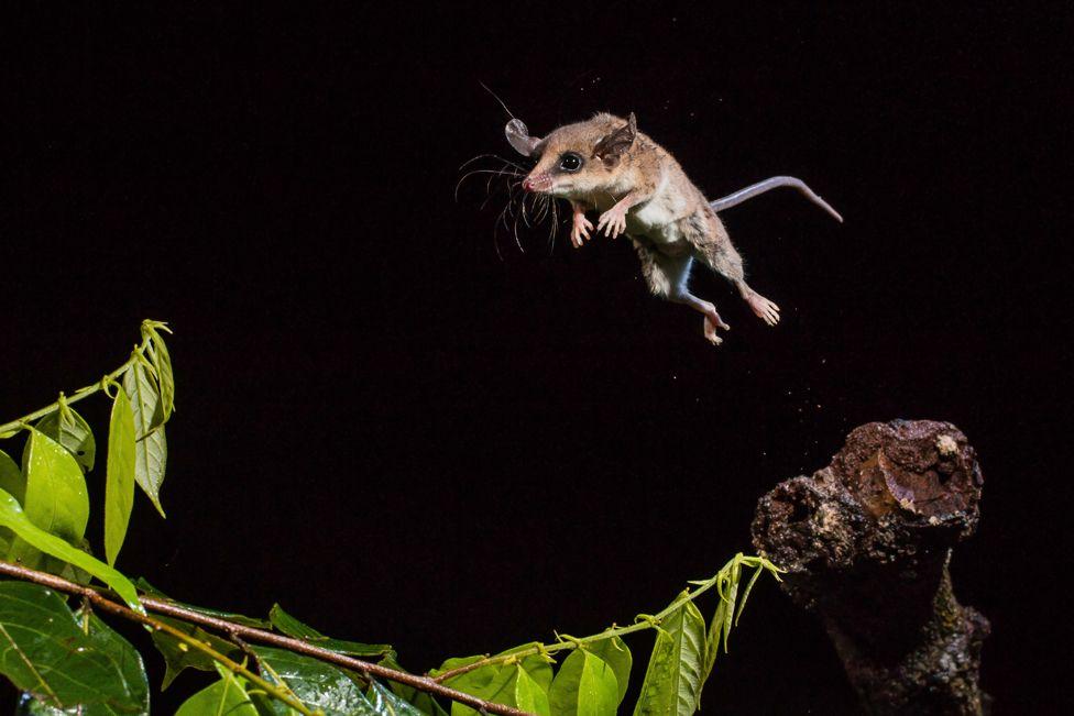 South American marsupial