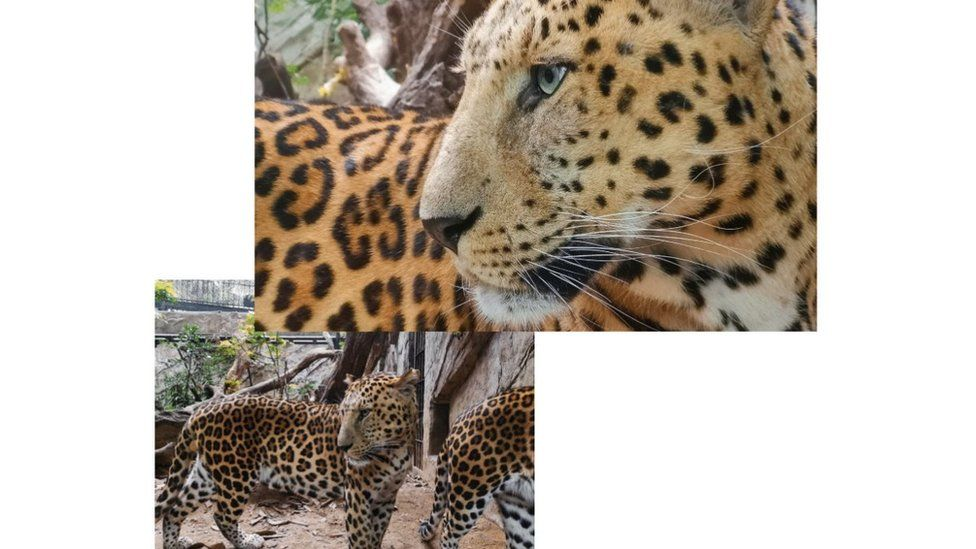 Images of a leopard taken with P20 Pro phone