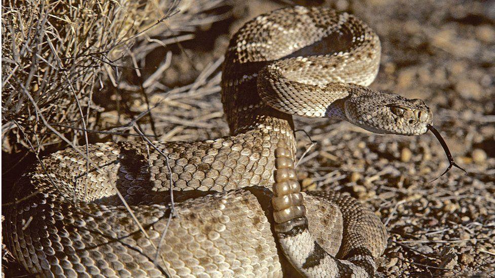 rattlesnake in the wild