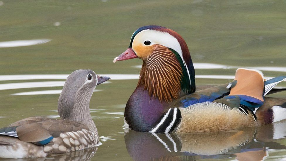 Fully grown Mandarin duck