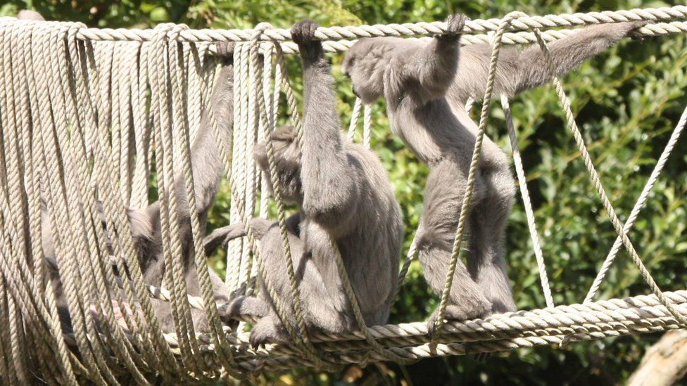 Family of silvery gibbons on a rope bridge at the park