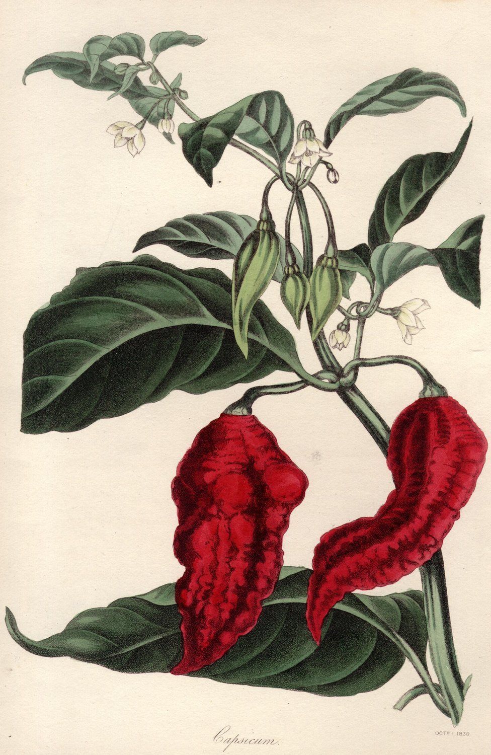 A picture from the 1830s of capsicum ustulatum, a kind of chilli