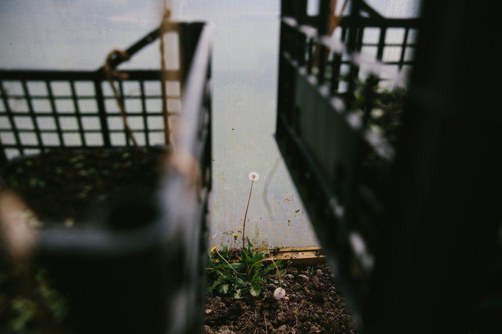 A wild dandelion plant is seen inside the polytunnel