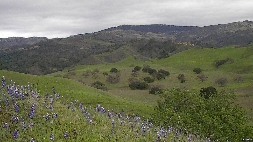 Oak savannah landscape (Image: Victoria Sork)