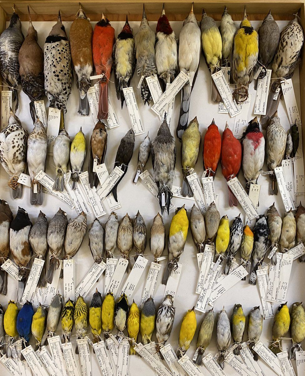 A drawer with four rows of bird specimens of various sizes and colours