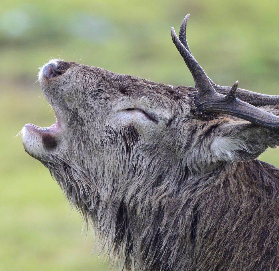 A stag on the Isle of Jura