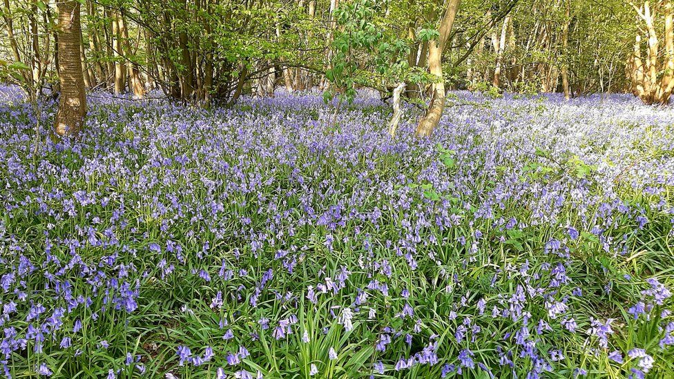 Bluebells on a wood floor