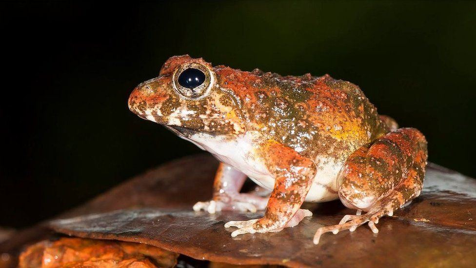 The new species belongs to the Indian frog family, Fejervarya