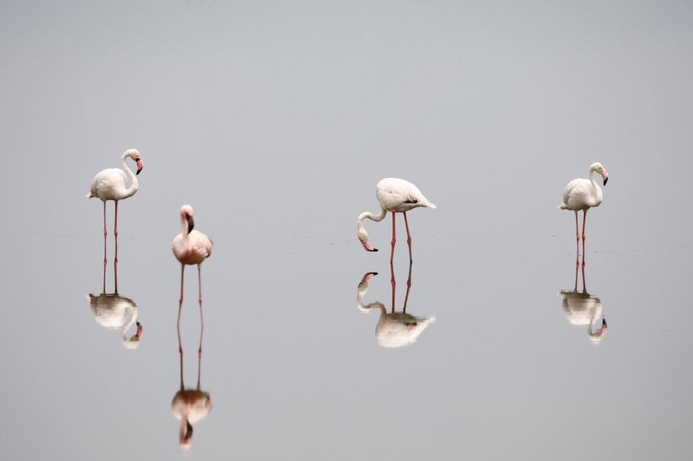 Flamingos standing in very still water are reflected as in a mirror in Lake Magadi, Kenya - Friday 12 February 2021