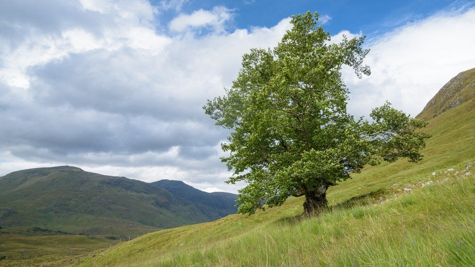 Tree called the Last Ent of Affric
