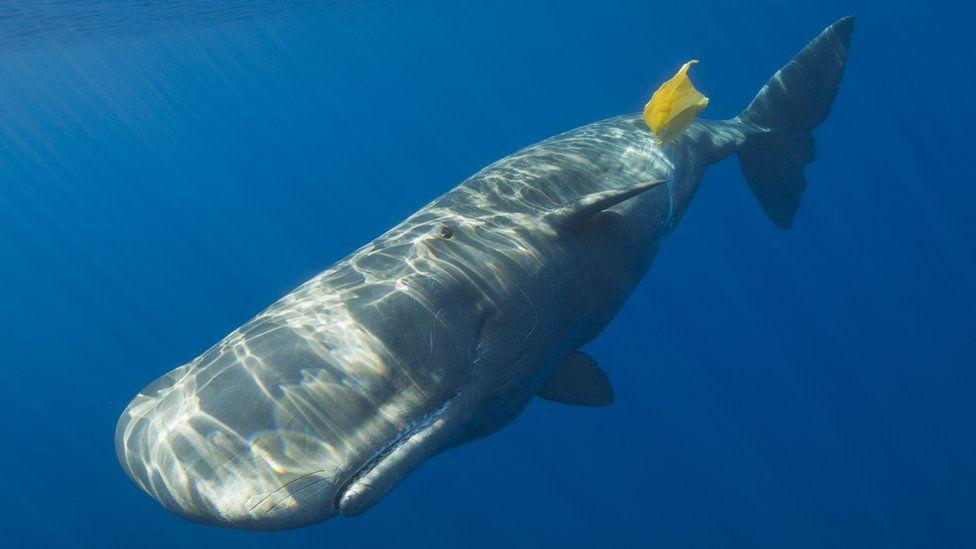 A sperm whale is pictured playing with a bright yellow plastic bag as it floats near the surface of the ocean
