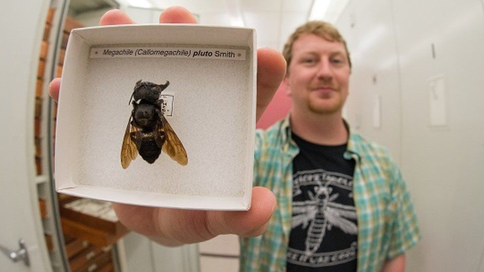 Eli Wyman with one of the few known Wallace's giant bee samples