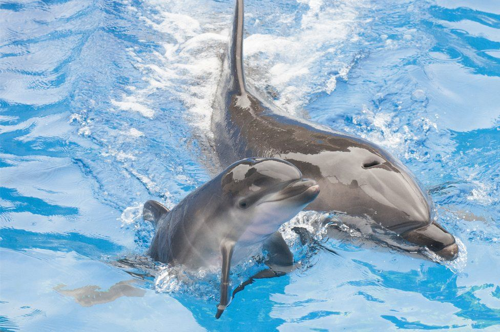 A 13-year-old bottlenose dolphin at SeaWorld San Diego, swims with her newborn calf