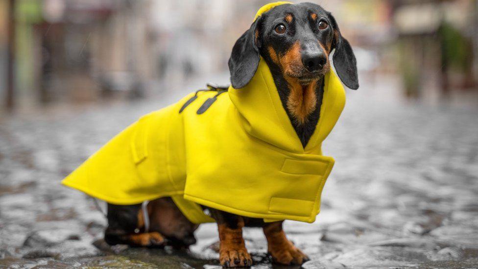 Dog in raincoat