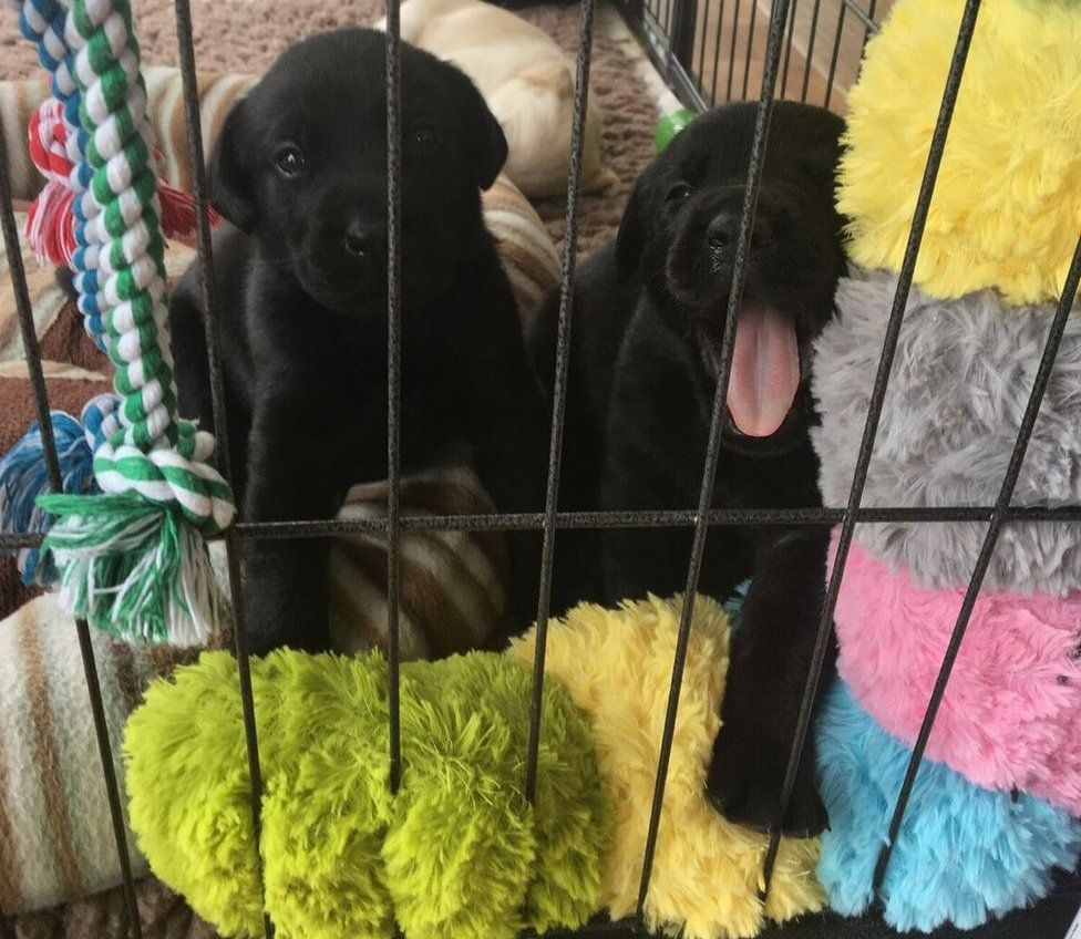 Two black Labrador puppies, one yawning so it looks like it's smiling