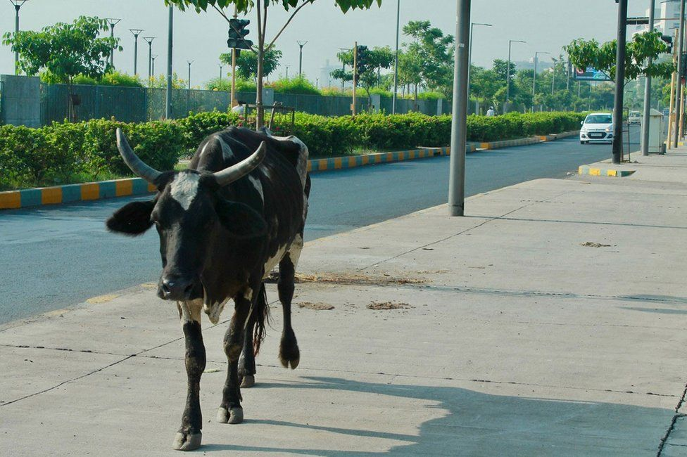 A cow standing in a street