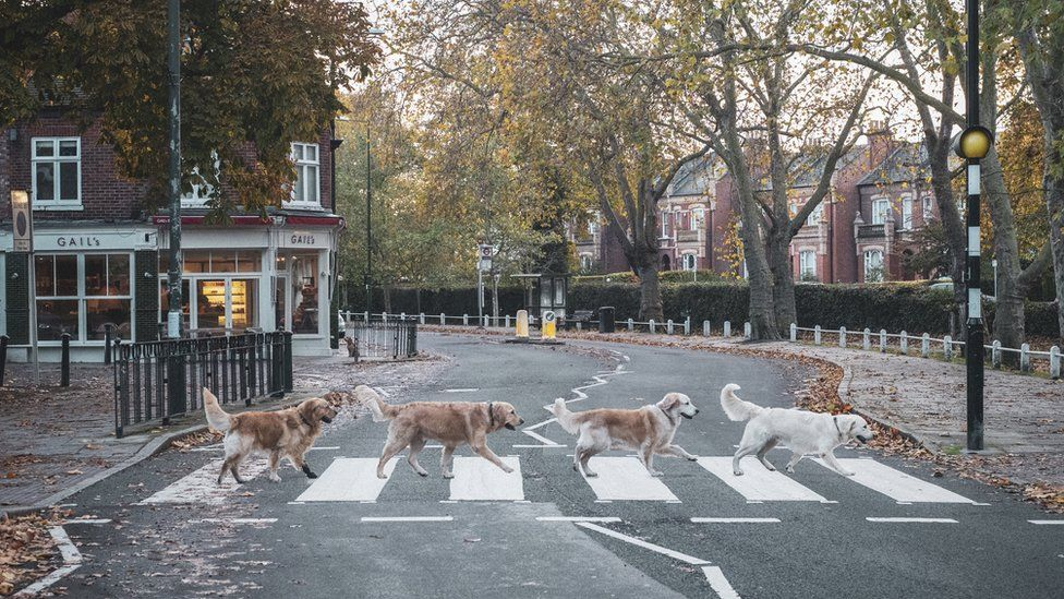 Golden retrievers crossing road