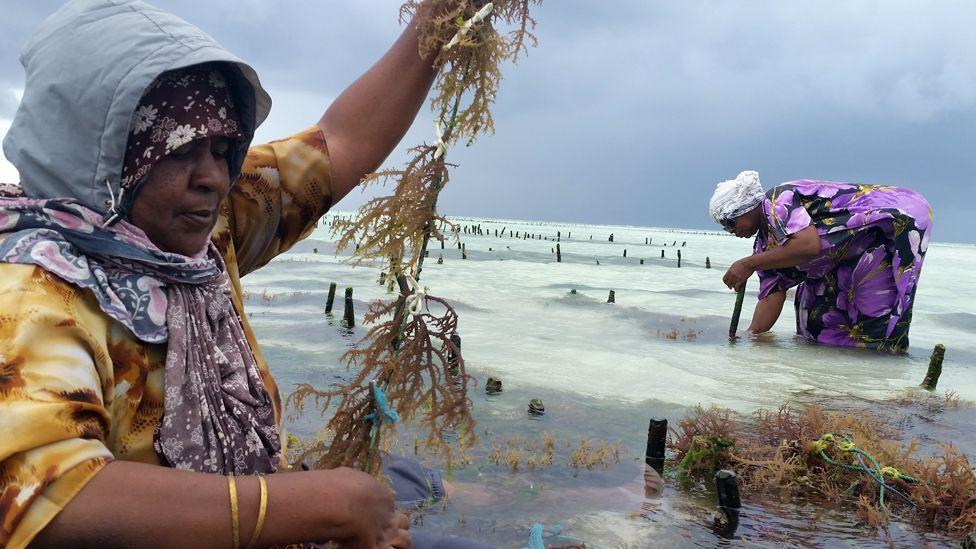 Women farming seaweed