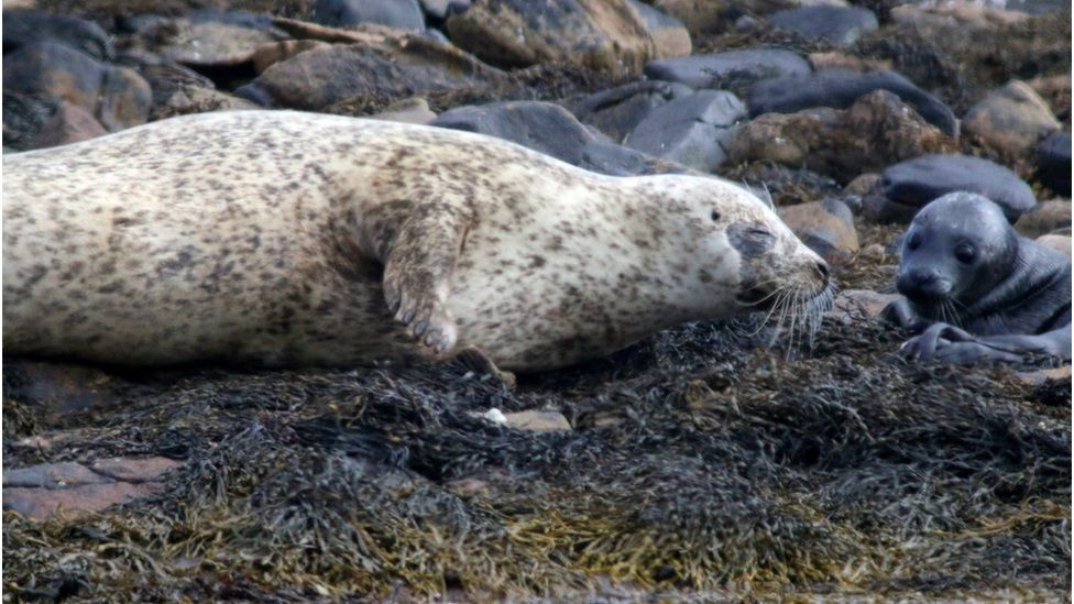 Mother harbour seal and pup