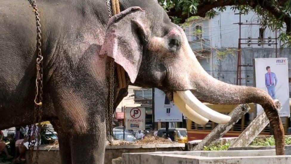 An elephant with a paralysed trunk trying to drink water