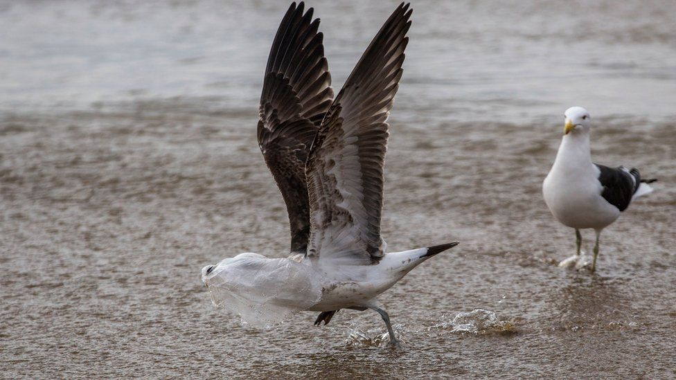 A seagull struggles to take flight covered by a plastic bag, on the seashore at Caleta Portales beach in Valparaiso, Chile on July 17, 2018