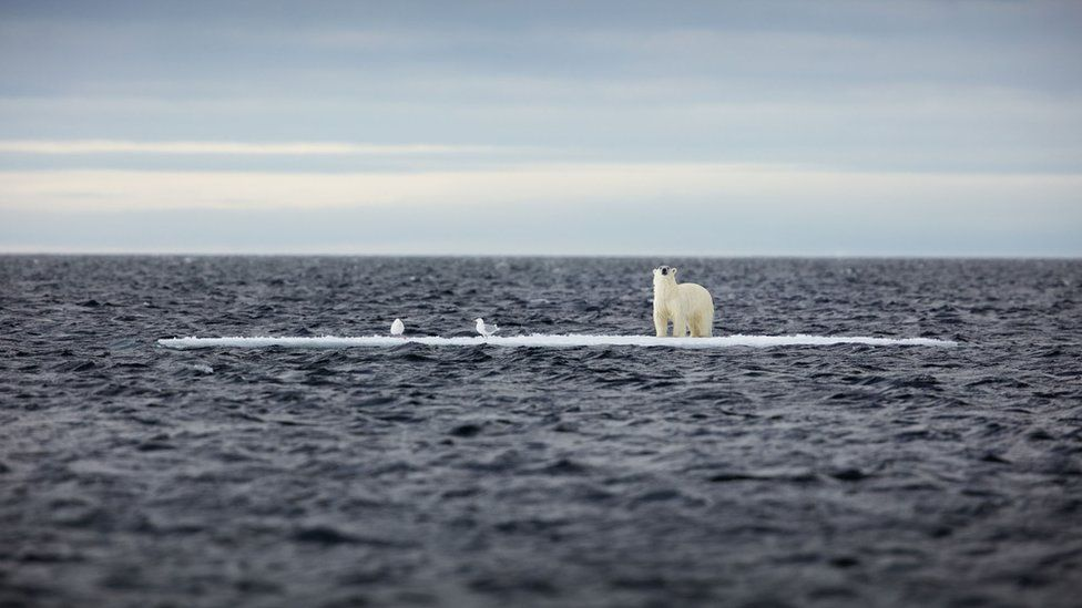 Polar bear on ice surrounded by water