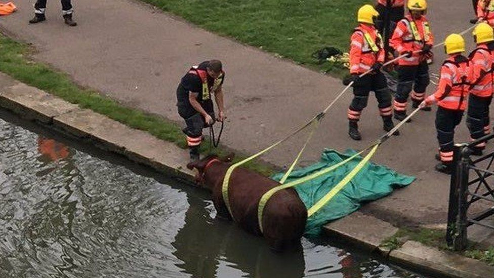 Cow being rescued from the River Cam in Cambridge.