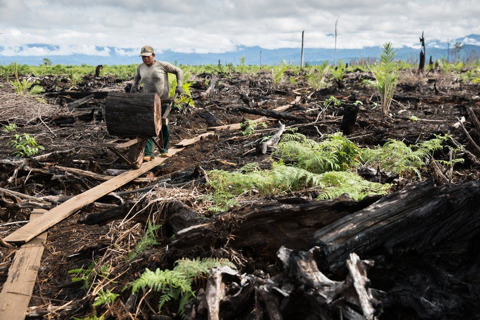 A worker clears charred tree stumps after a palm oil company has logged and burnt the Tripa region of the Leuser Ecosystem