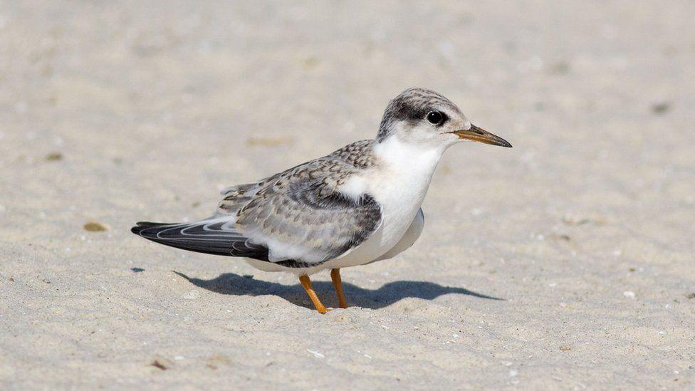 A juvenile least tern