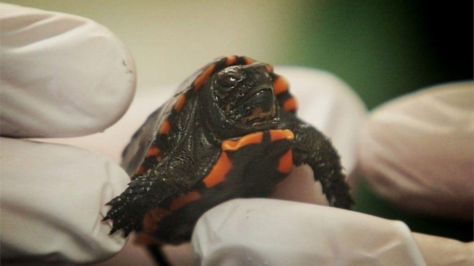 Keeled box turtles
