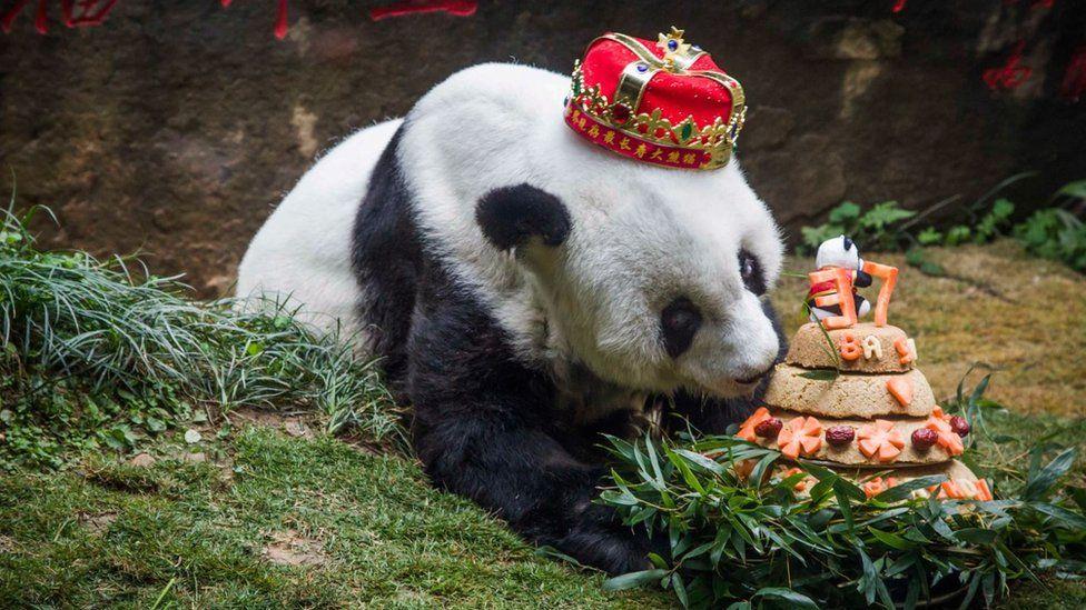Basi sniffs a birthday cake prepared by her keepers at Fuzhou Panda World