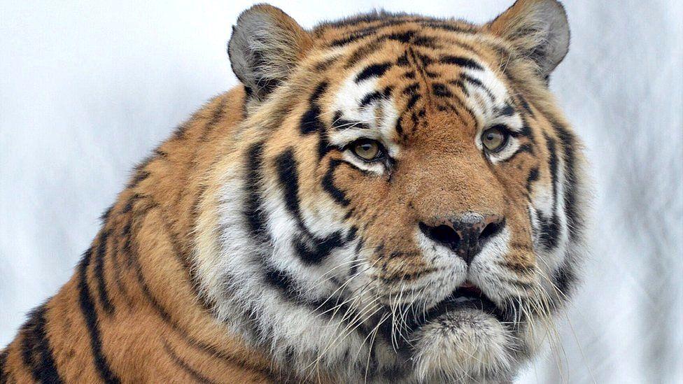 Igor, the Amur tiger