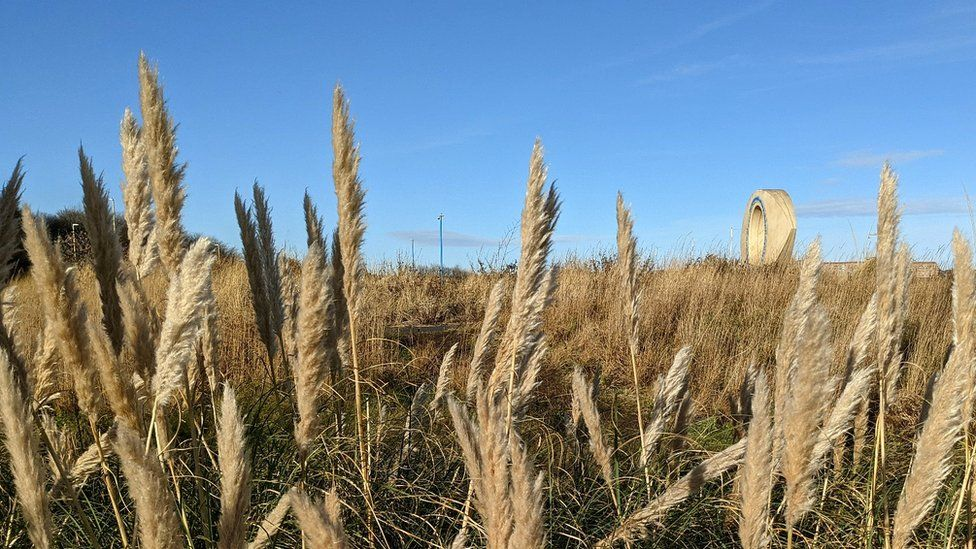 Pampas grass in South Shields