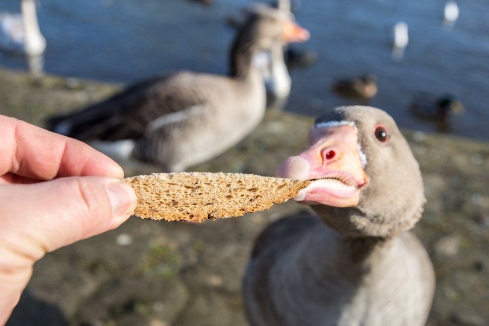 Someone feeding bread to geese