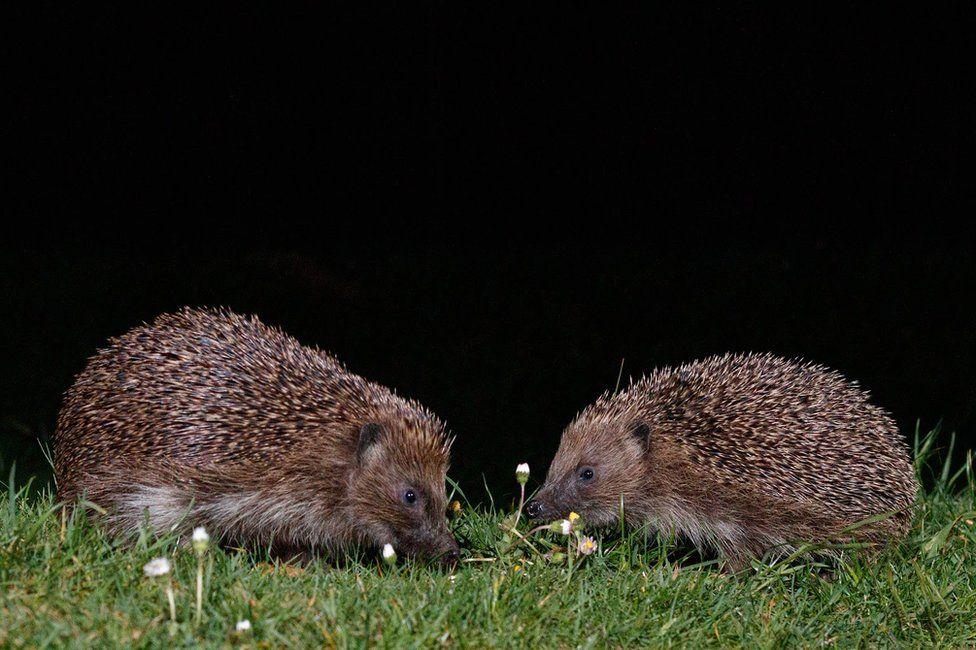 Two hedgehogs in a garden in Amersham, England